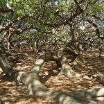 Las playas de Pirangi y el árbol cajueiro Gigante.