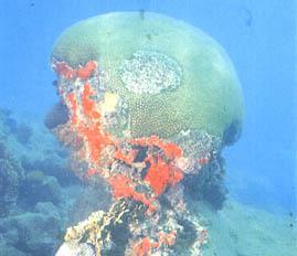 Coral Cerebro